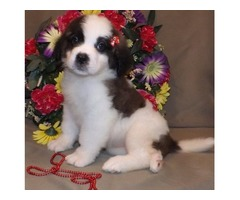 Saint Bernard Puppies available.