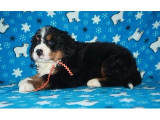 Playful Burmese Montain dog Puppies | free-classifieds-usa.com