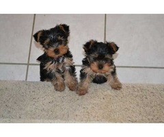 Yorkie Puppies Ready For A New Home