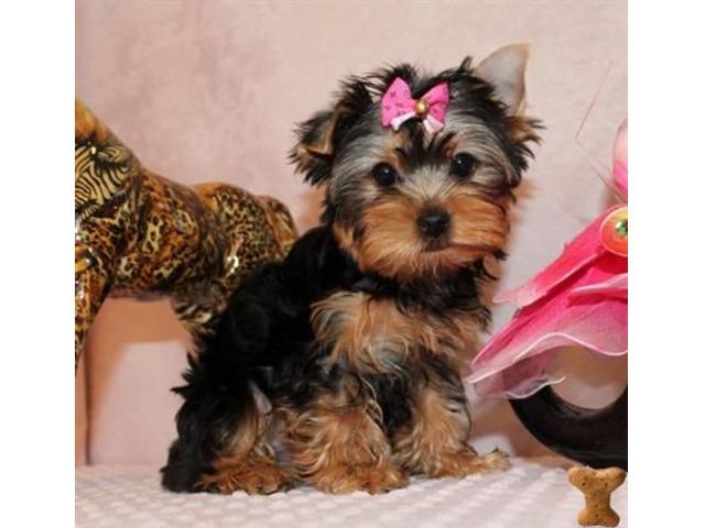 Sweet M/F Yorkie Puppies - Animals - Madison - Wisconsin