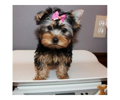 Sweet M/F Yorkie Puppies