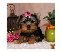 cute M/F Yorkie Puppies Ready For Adoption