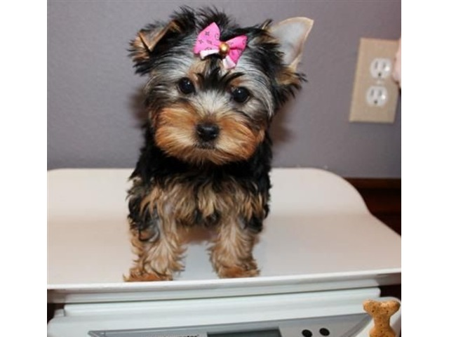 cute M/F Yorkie Puppies Ready For Adoption - Animals ...