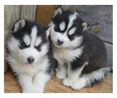 Adorable male and female  Siberian husky puppies