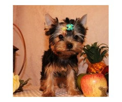 Two adorable 10 week old puppies Morkie and Yorkie