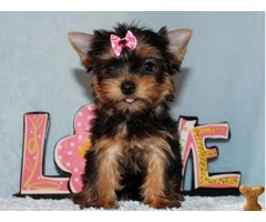 Healthy Yorkie Pups