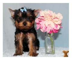 Purebred Yorkie Available