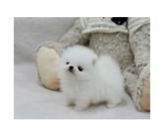 Very healthy and cute pomeranian Terrier puppies