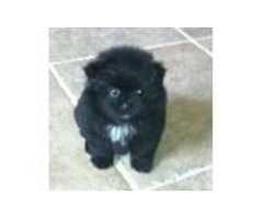 Cute Ready to go Pomeranian Pups for cuties
