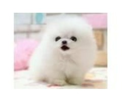 Pomeranian Puppies now ready for new homes