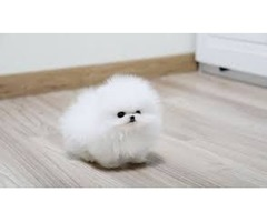 Adorable Best Give Away Pomeranian Pups Puppies