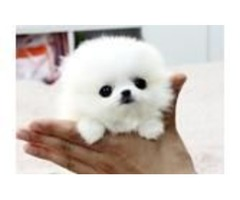 Quality, registered pomeranian puppies