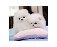 We have three AKC registered Pomeranian puppies