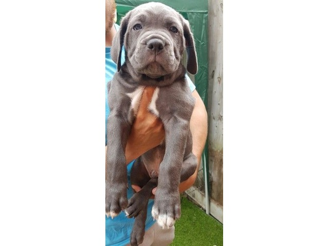 Rare Blue Cane Corso Puppies For Sale Animals Bruce Crossing