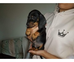 Beautiful Miniature Dachshund For Sale