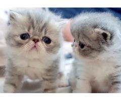 Reluctanct Sale Of My Beautiful Girl Chinchilla Kitten