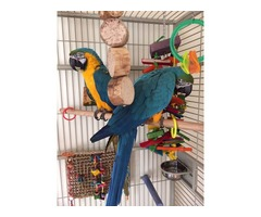 2 Talkative blue and gold macaw parrots ready to go(567) 245-9783