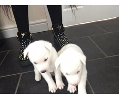 Husky/inuit Puppies for adoption
