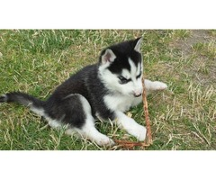 Pure breed Siberian husky puppies Available