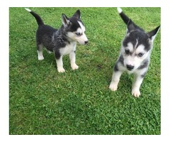 Beautiful Siberian husky puppies available now!