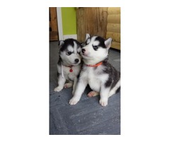 Siberian husky puppies available now