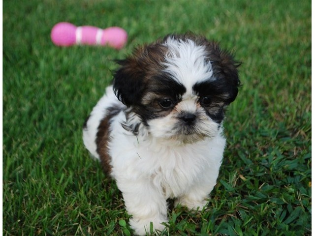 Baby Shih Tzu Puppies Available Animals Austin Texas