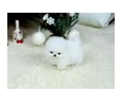 2 Desirable Pomeranian puppies are the perfect prese