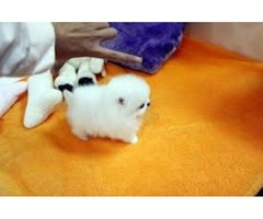 Beautiful Pomeranian puppies