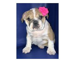 home raised and free english bulldog for adoption