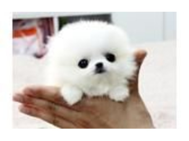 Adorable Best Give Away Pomeranian Pups Puppies Animals