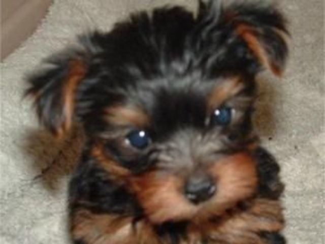 They Are Akc Ckc Registered Potty Training Teacup Yorkies Puppies