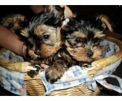 These little Teacup Yorkshire Terrier