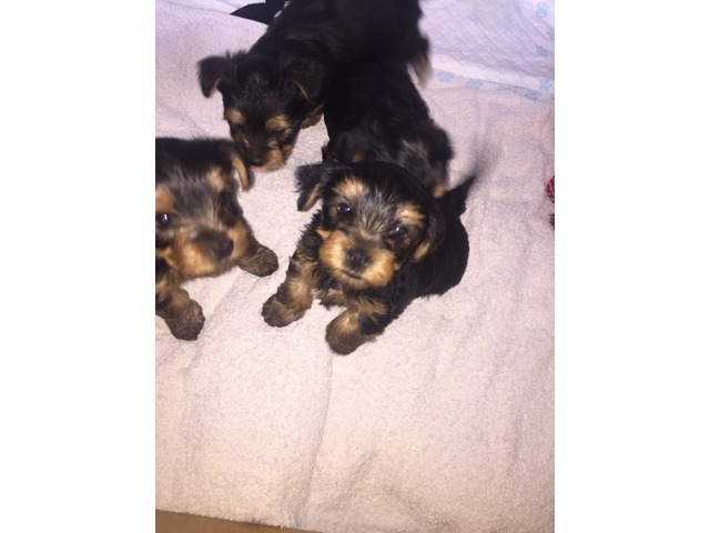 The Yorkshire Terrier Puppies | free-classifieds-usa.com