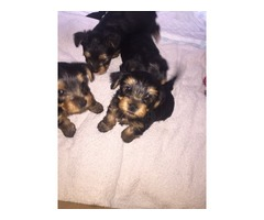 The Yorkshire Terrier Puppies
