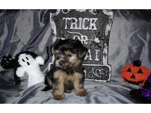 These Beautiful Little Yorkie Puppies Available Animals Albert