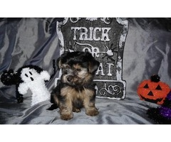 These beautiful little Yorkie Puppies Available