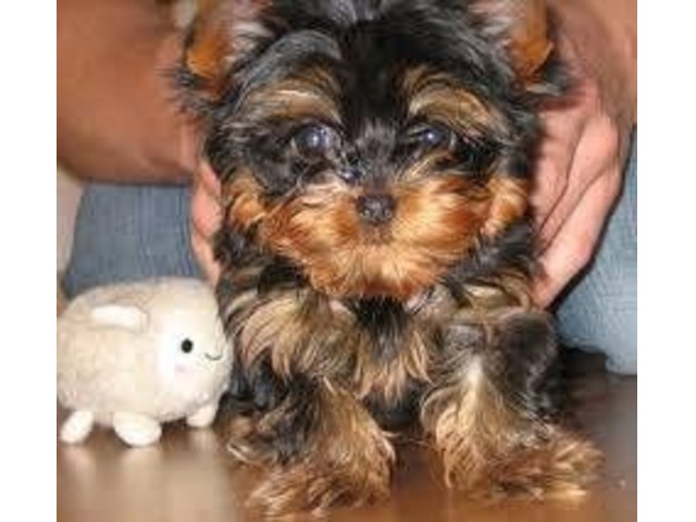 Cute Yorkie Puppies For Sale In Kansas City