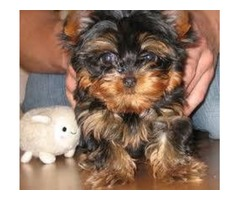 Teacup Yorkie! Isabella is charted