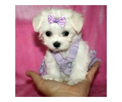 Home raise Maltese puppies available for adoption.