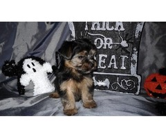 Say hello to the smallest Yorkie on the Internet!
