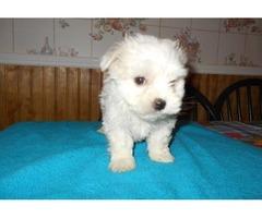 Excellent  Maltese Pups