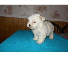 Cuest Maltese Puppies