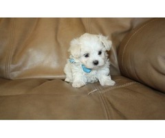 Pure breed Maltese Puppies available for re homing