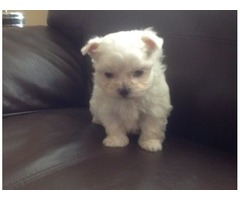 Marvelous  Maltese for adoption