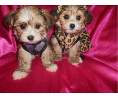 Two beautiful yorkie puppies for free adoption