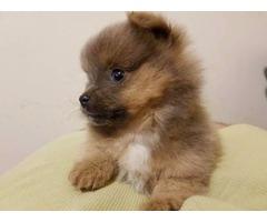 Gorgeous Pomeranian Puppies Now Ready for Adoption
