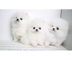 Cute Tea-Cup Pomeranian Puppies!!