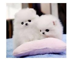 Top Quality Tea-Cup Pomeranian Puppies!