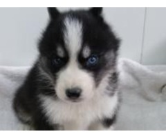 Registered Purebred Siberian Husky Puppies