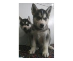 Excellent Siberian Husky Puppies